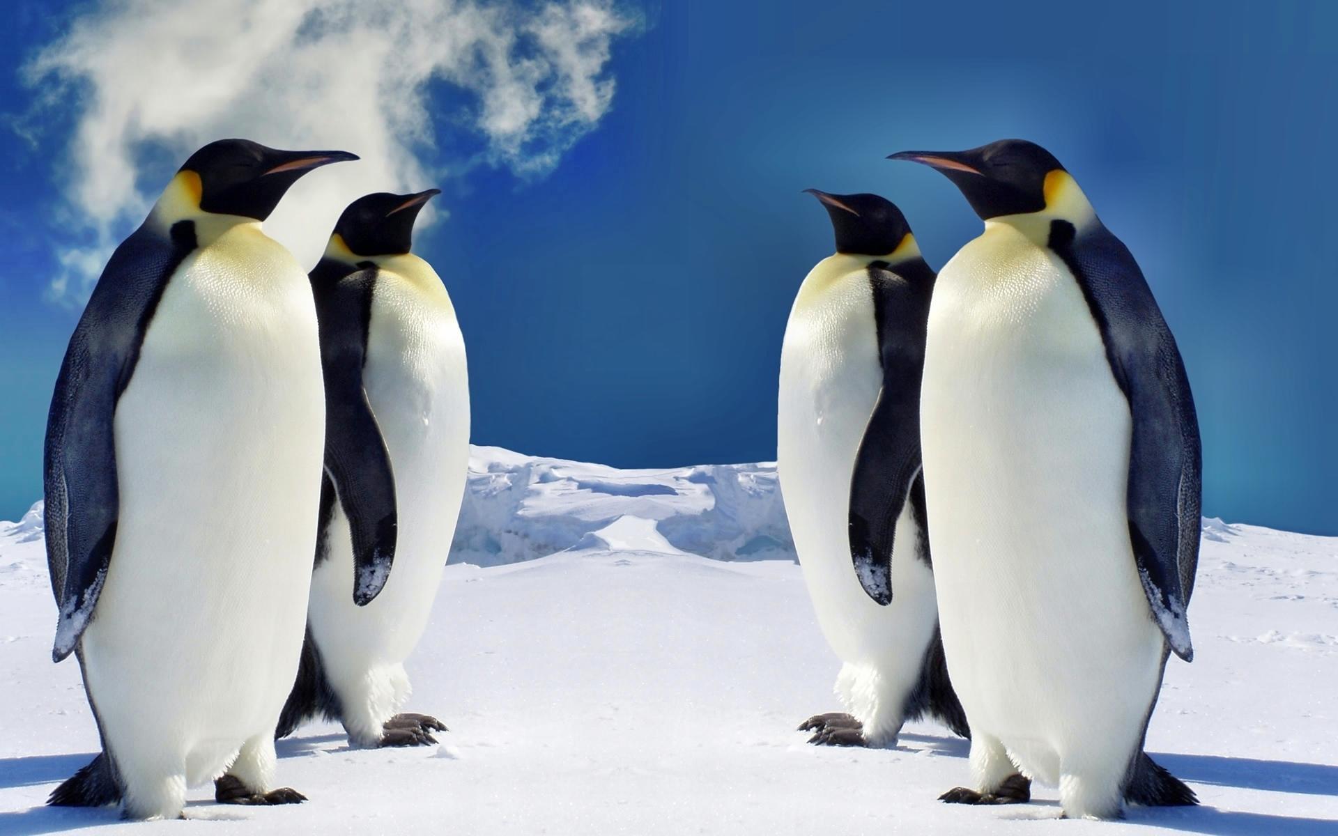 reproduction des pingouins reproduction des pingouins page 3. Black Bedroom Furniture Sets. Home Design Ideas